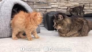 Scary Puffy Kitten Wont Back Down  TinyKittens.com