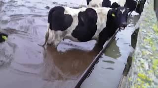Жизнь в Беларусии в 2 мин..что мы что коровы ..................