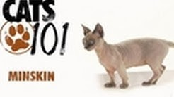 Minskin | Cats 101