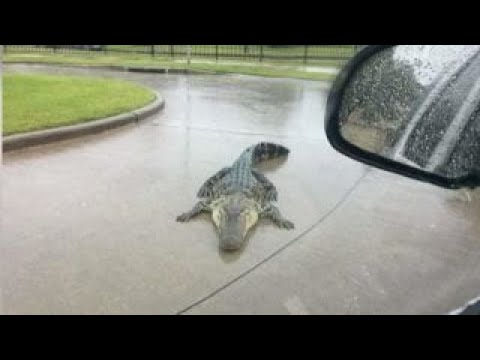 Download Youtube: Hurricane Harvey warning: Beware of alligators