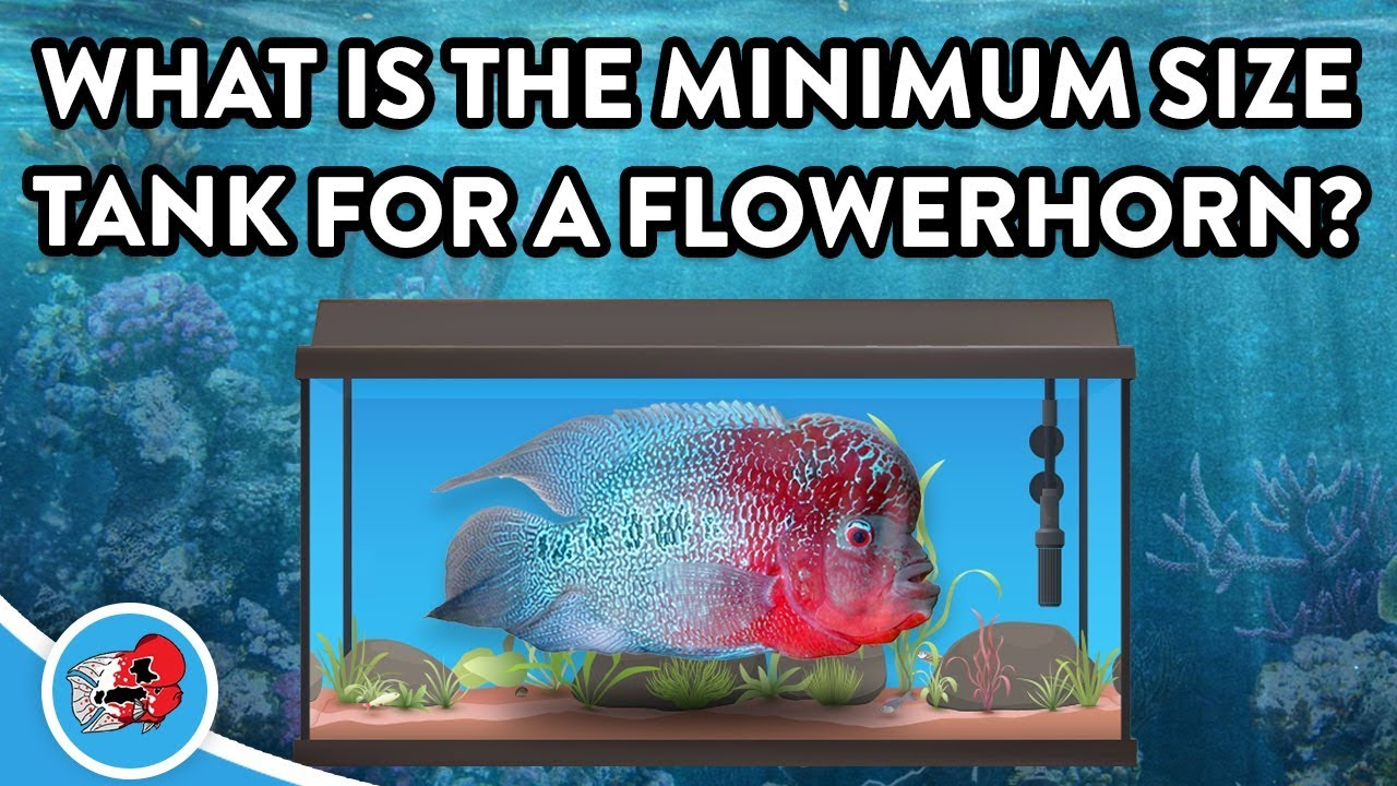 What is the Minimum Tank Size for a Flowerhorn Fish?