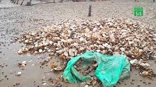 VTC14 | Hà Tĩnh: hàng chục tấn nghêu chết bất thường