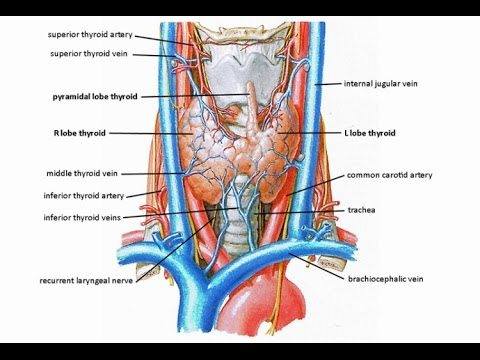 Innervation of the Larynx - Vagus - Superior laryngeal and recurrent ...