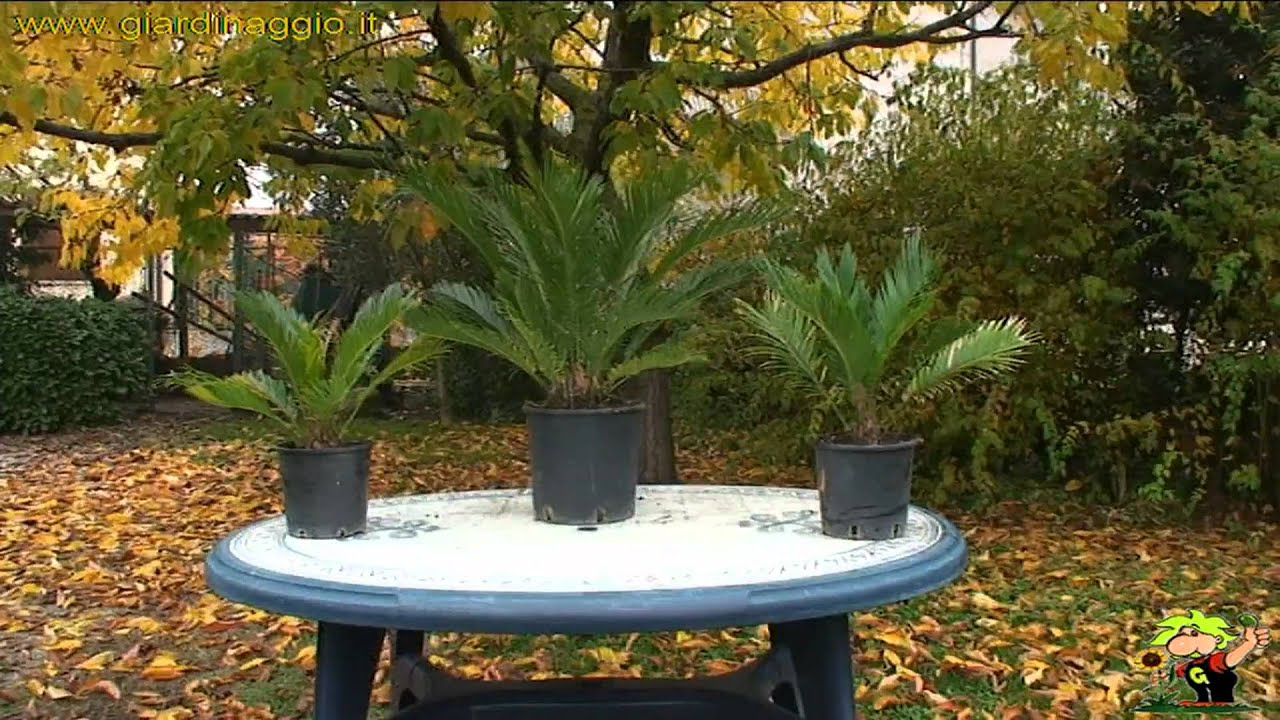 Awesome Cycas   YouTube