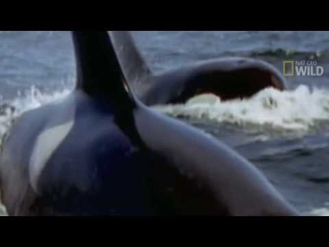 KILLER WHALES vs GREAT WHITE SHARK - Orca whale kills great white & eats it