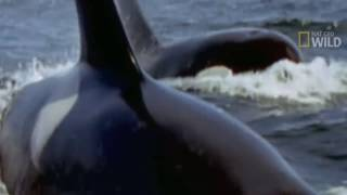 KILLER WHALES vs GREAT WHITE SHARK - Orca whale kills great white & eats it