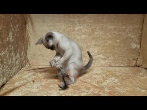 Sarmicel Burmese champagne kitten playing with teaser