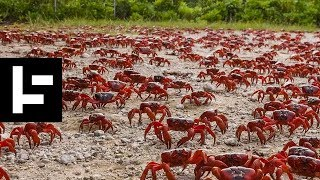 The Christmas Island Miracle: The Migration of the Bright Red Crab