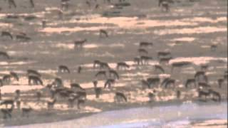 Thousands of Tibetan antelope filmed crossing a river