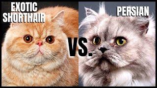 Exotic Shorthair Cat VS. Persian Cat
