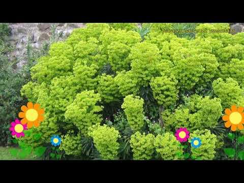 Молочай вульфена. Краткий обзор, описание характеристик, где купить саженцы euphorbia griffithii