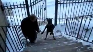 Собака поднимается по лестнице на задних лапах! Круто!