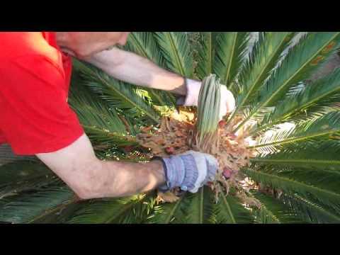 Cyca revoluta limpieza de semillas youtube for Calentadores para jardin tipo hongo