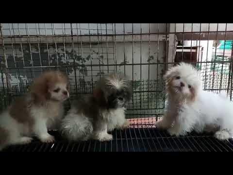 Shih Tzu + Terrier Puppy For Adoption - 3 Months, 4 Shih Tzu Mixed Puppies from KUALA LUMPUR, Kual..