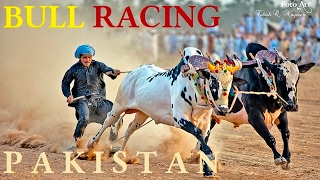 Bull  Racing in PAKISTAN - China TV highlights Pakistani Culture and Traditions!