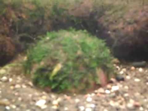 Planted fish tank. Mini Taiwan Moss start growing on coconut shell :)
