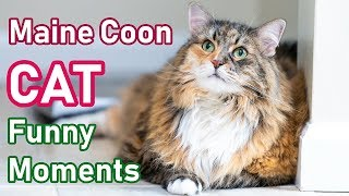 Maine Coon Cat Funny Moments