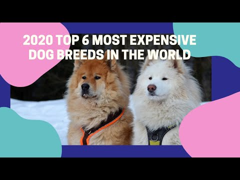 2020 Top 6 List Of The Most Expensive Dog Breeds In The World