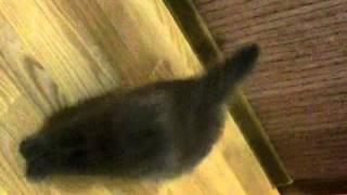 Продам персидского котёнка, голубой, красивый