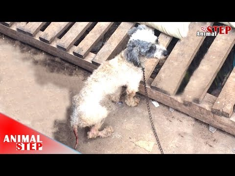 Poor Dog Was Chained Up by Owner and Left Him in Very Horrible Condition