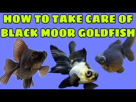 Black Moor Goldfish Care Tips