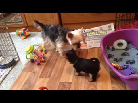 Yorkshire Terrier  puppies playing, 6 weeks old.