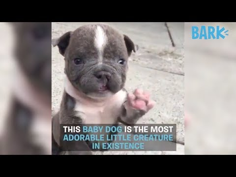 EARL GREY Is The Most ADORABLE Little PUPPY In The World | DOGS YOU SHOUD KNOW