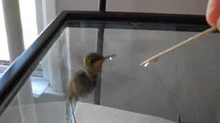 How to raise a baby hummingbird part 2 of 6