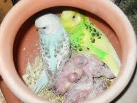 Australian parrots new born baby and egs