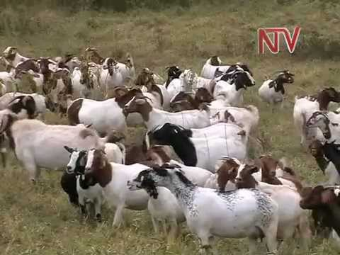 On the Farm: Goat Rearing
