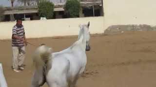 Sharifa Al Qusar (Sheikh Mahrus x Shahida Al Qusar by Teymour B) - 2008 (SJ)