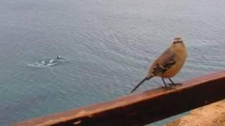 BEN-TE-VI : (CEDIDA POR DR. ADONIL-Carneirinho-MG)) AVES EXÓTICAS DO BRASIL #dicas de aves exóticas