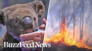 Koalas Have Lost A Majority Of Their Habitat In Australia's Recent Fires