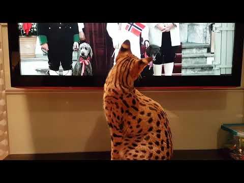 Savannah cat watches Dogs on TV!