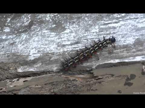Serangan Semut Merah  Yang Menjatuhkan Ulat Bulu - Red Ants vs Caterpillar