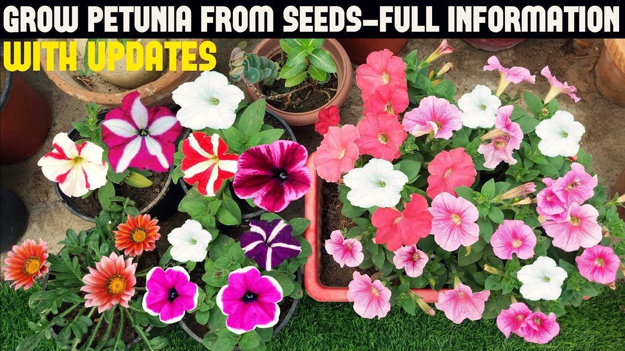 How To Grow Petunia From Seeds With Full Updates Youtube