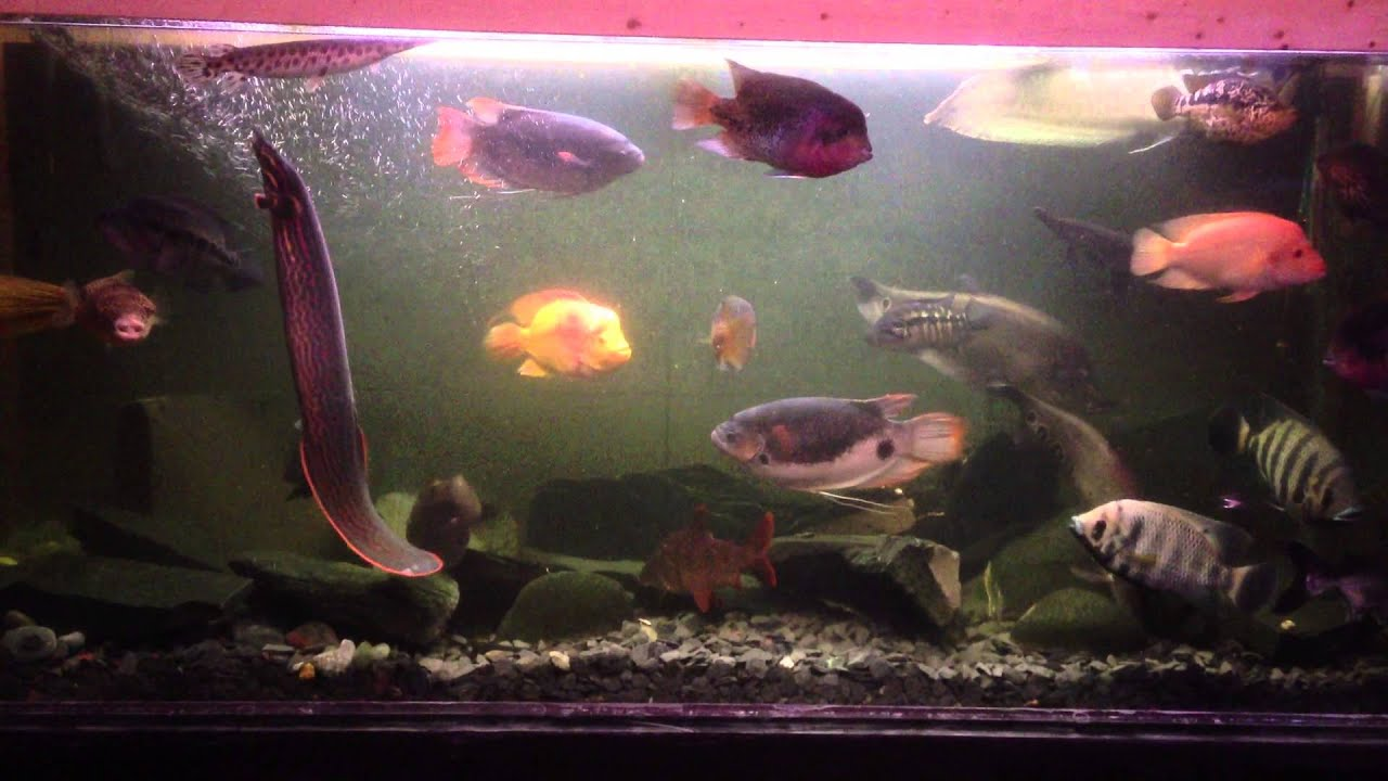 Mbu puffer fire eel in large fish tank youtube for Eel fish tank