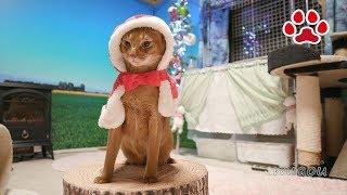 アビシニアンるかのサンタクロース【瀬戸のるか日記】Abyssinian cat Luca's Cute Santa Costume