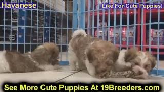 Havanese, Puppies, For, Sale, In, Clifton, New Jersey, Nj, Morris, Passaic, Camden, Union, Ocean, Mo