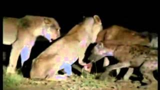 Львы убивают и едят гиен сезон засухиЭксклюзвидео