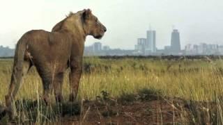 Kenya hunts for escaped Nairobi lions