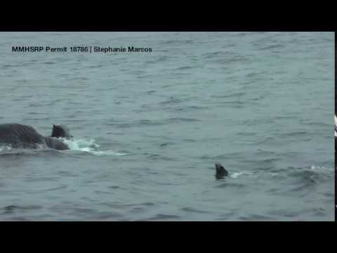 Entangled Humpback Whale feeding in Monterey Bay National Marine Sanctuary
