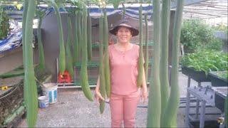 Giàn Mướp Thước trồng trên vườn rau sân Thượng |  Khoa Hien 281
