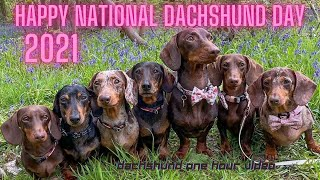Funny Adorable Dachshund dogs one hour cute videos compilation #petvideos #sausagedogs #weinerdogs