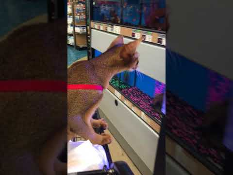 Abyssinian cat in Petco