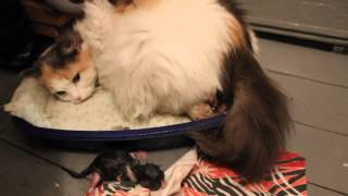 Как кошки рожают или как принимать роды? (As cats give birth or how to deliver a baby?)