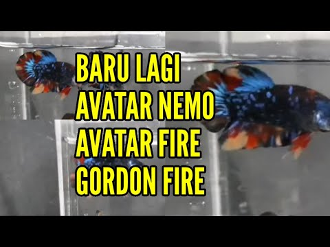 Rumus Breeding Ikan Cupang A3 Genetical Youtube