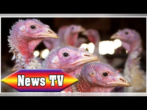 Giving thanks, but not for turkey-powered energy | News TV