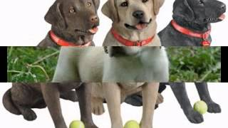 Labrador Retriever Dog Pictures