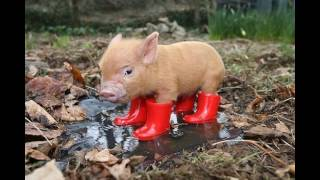 Самые Милые Животные Планеты (Мини Свинки)/Most Cute Animals (mini-pig)